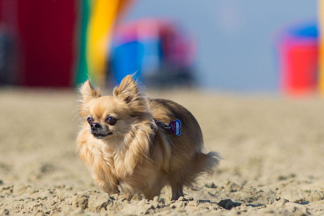 Ein Chihuahua am Strand von Deauville im Calvados/Normandie.