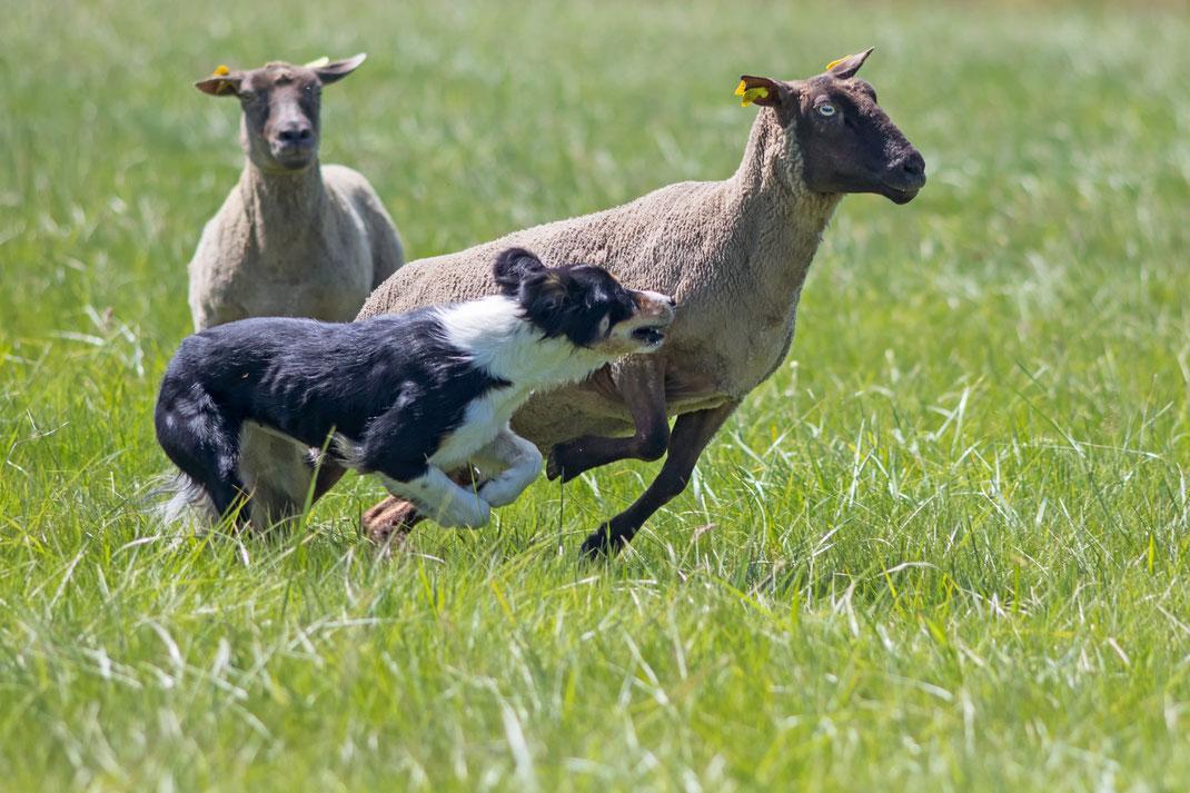 Ein Border Collie setzt einem Schaf nach. Entstanden auf einem Hütewettbewerb in Nehou, La Manche, Normandie