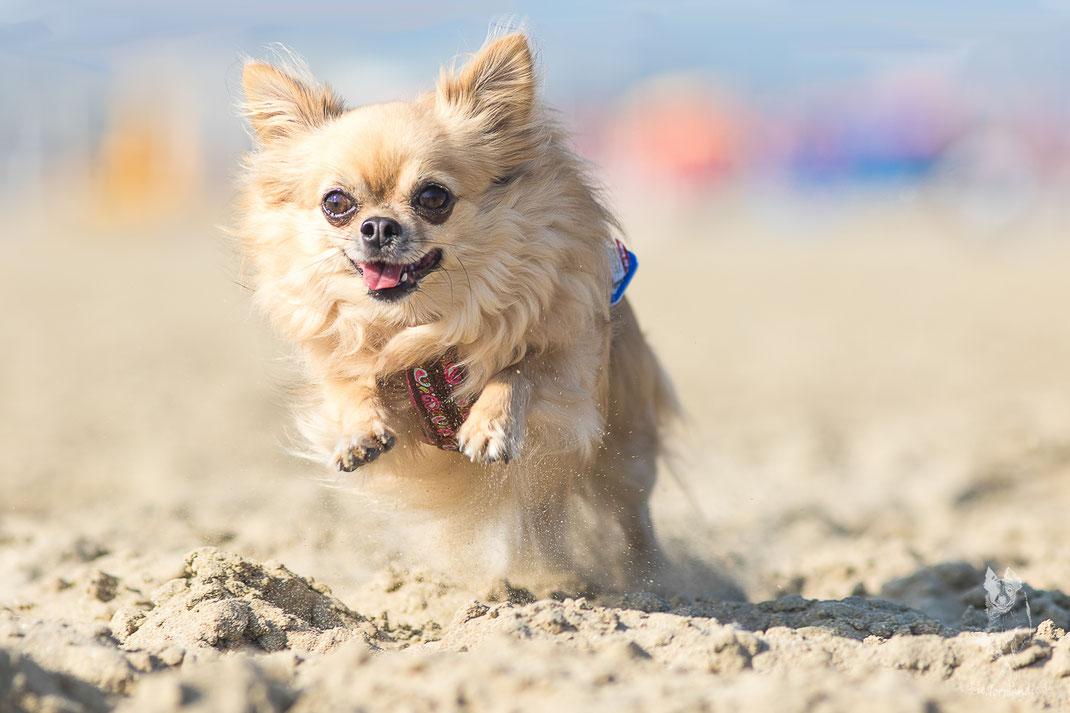 Ein Chihuahua am Strand von Deauville