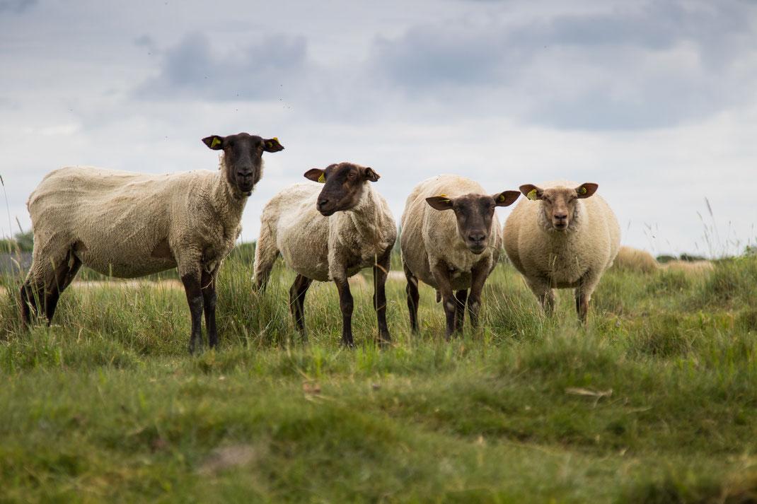 Vier Schafe im Havre von Saint Germain sur Ay schauen neugierig in die Kamera