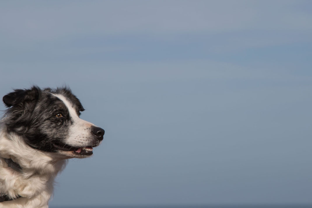 Ein Border Collie vor blauem Himmel in der Normandie
