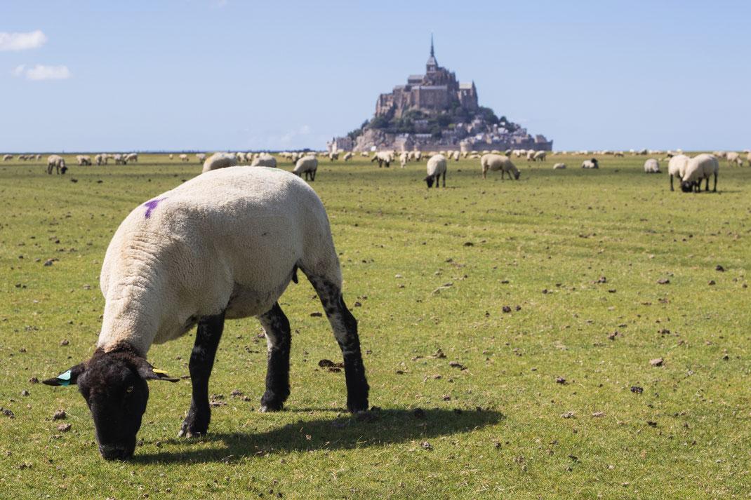 Ein Schaf weidet mit der Herde vor dem Mont-Saint-Michel in der Normandie.