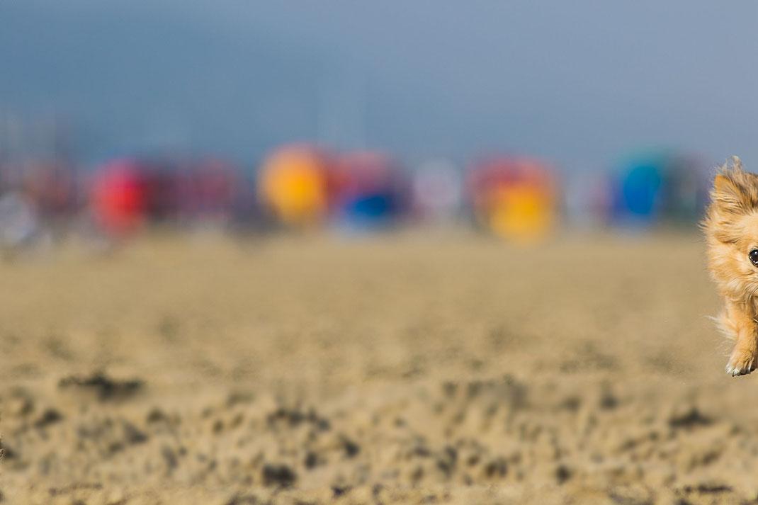 Missglücktes Hundefoto am Strand von Deauville - der Chihuahua ist nur zur Hälfte auf dem Bild