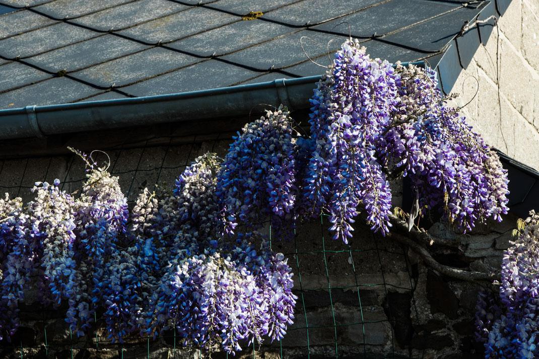Haus in Portbail mit üppigem Bewuchs durch Blauregen