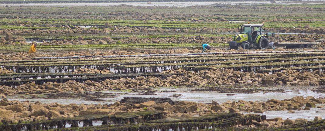 Austernzüchter arbeiten bei Ebbe in der Bucht von Saint-Vaast-La-Hougue in der Normandie.