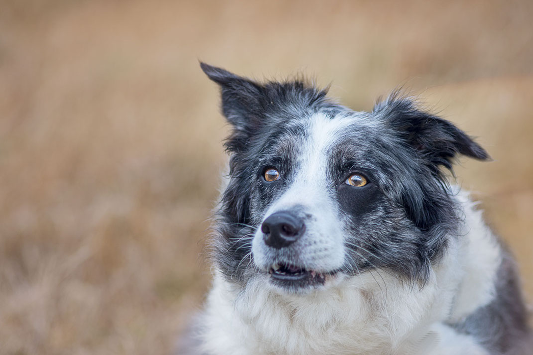 Ein Border Collie bellt