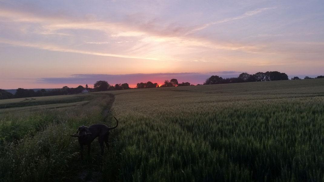Eine Deutsche Dogge im Feld bei Sonnenuntergang im Perche, Orne, Basse Normandie