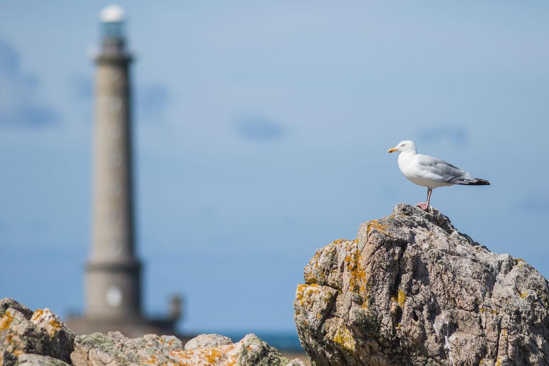 Eine Möwe sitzt auf einem Felsen am Cap de La Hague auf der Cotentin-Halbinsel in der Normandie.