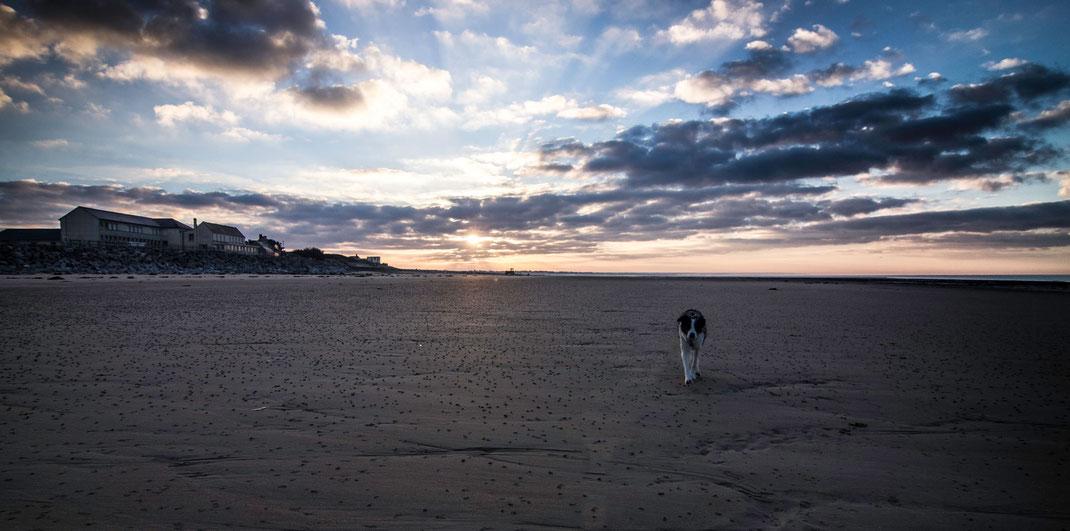 Ein Border Collie zu Sonnenaufgang am Strand von Portbail auf dem Cotentin, Basse-Normandie, Frankreich