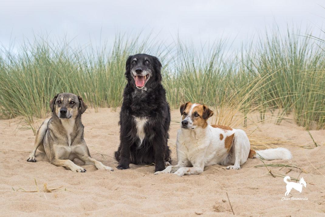 DRei Mischlingshunde in den Dünen von Saint-Germain-sur-Ay in der Basse-Normandie.