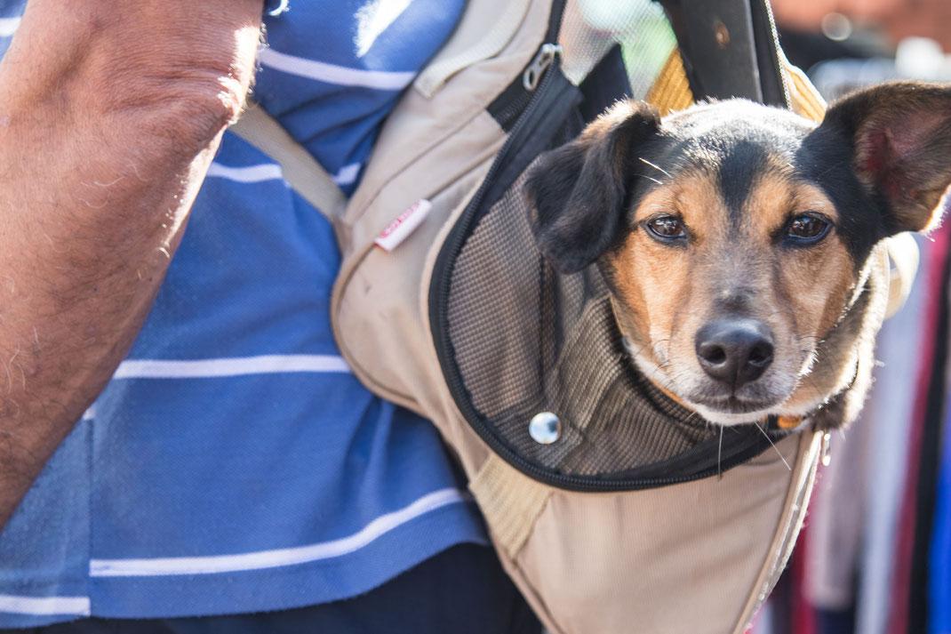 Hund im Rucksack auf dem Foire de Lessay.