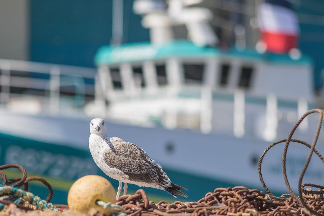 Möwe am Fischereihafen in Port-en-Bessin im Calvados, Normandie, Frankreich.