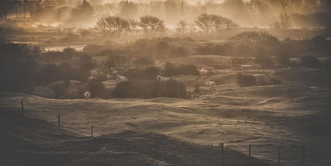 Kühe grasen auf einer weide in den Lindbergh Dünen auf dem Cotentin in der Normandie.