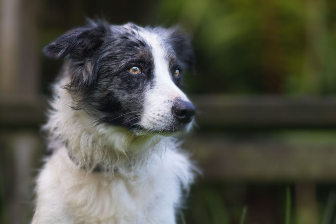 Ein Border Collie in der Farbe blue-merle in der Normandie