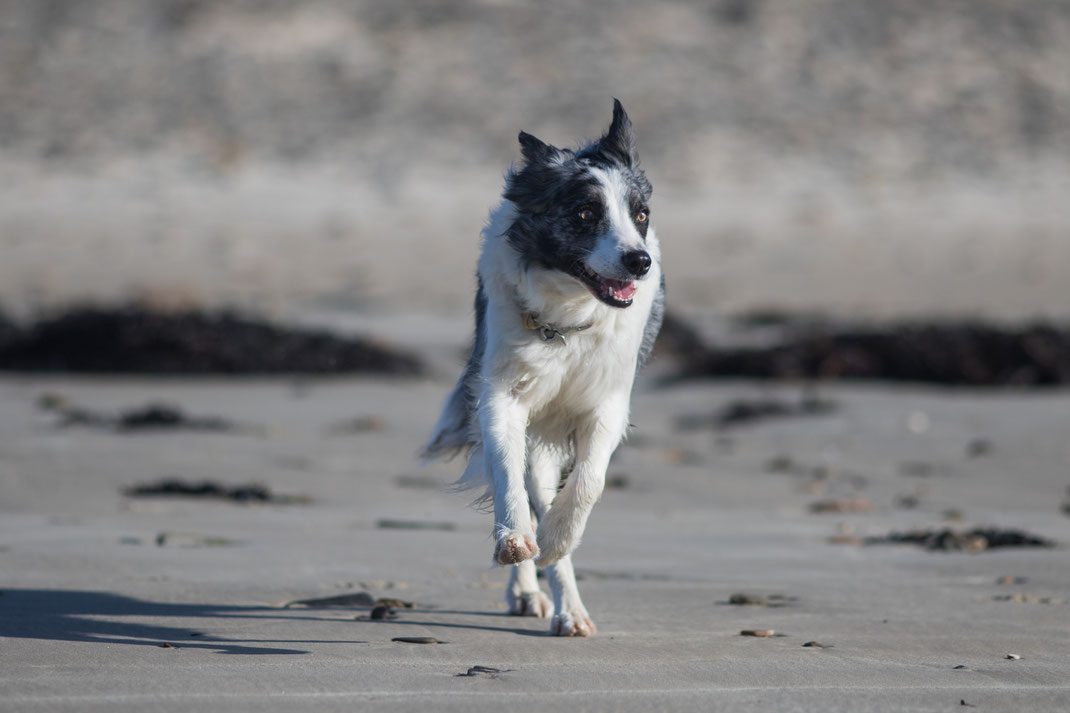 Ein Border Collie am Strand von Bretteville-sur-Ay in der Normandie.