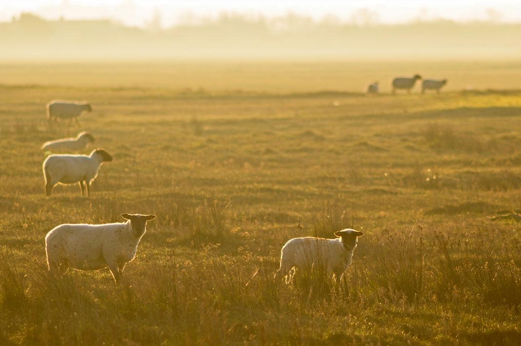 """Schafe im Morgenlicht - ein Motiv aus dem Calvendo-Kalender """"Cotentin – unser Stück vom Paradies"""""""