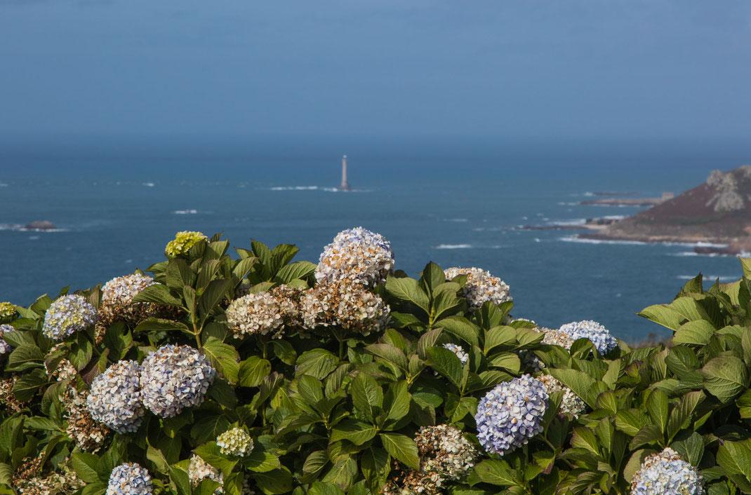Verblühte Hortensien im Vordergrund, Leuchtturm im Hintergrund