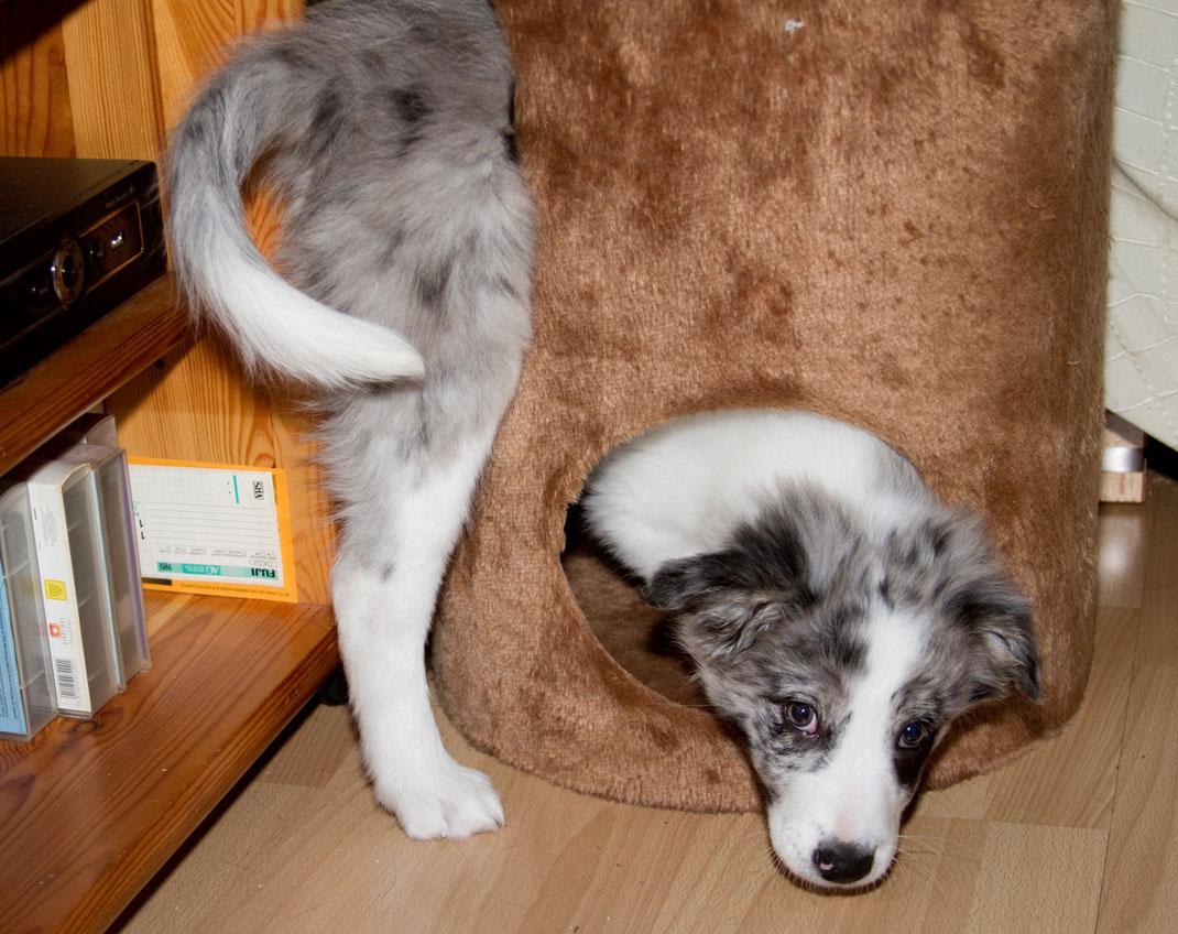 Ein junger Border Collie testet seine Gelenkigkeit in einer Katzenhöhle.