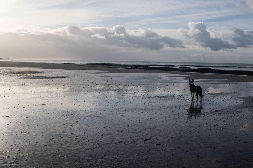 Urlaub mit Hund in der Normandie: Ein Border Collie schaut am Strand der Halbinsel Cotentin aufs Meer hinaus