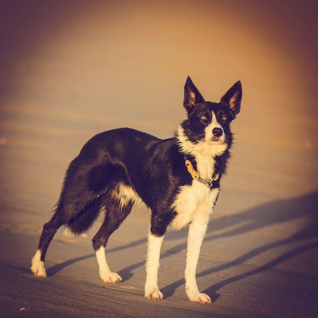 Ein Border Collie am Strand in der Normandie