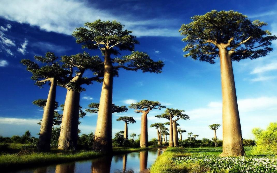 Les baobabs sacrés près du village natal du marabout Rajak