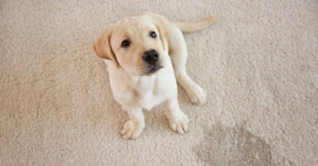 Razas de perros recomendadas para vivir dentro de casa