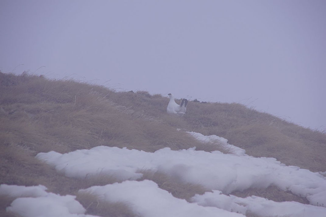 Ein Schneehuhn