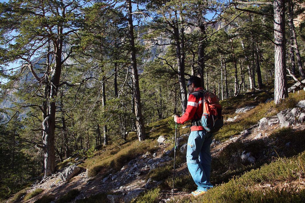 Schöner Föhrenwald beim Abstieg
