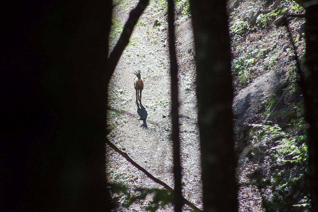 Weit unten im Wald schaut eine Gams skeptisch her