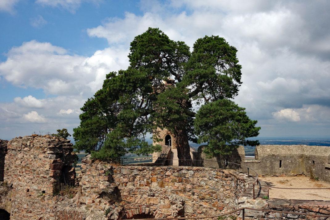 Waldkiefer auf dem Auerbacher Schloss