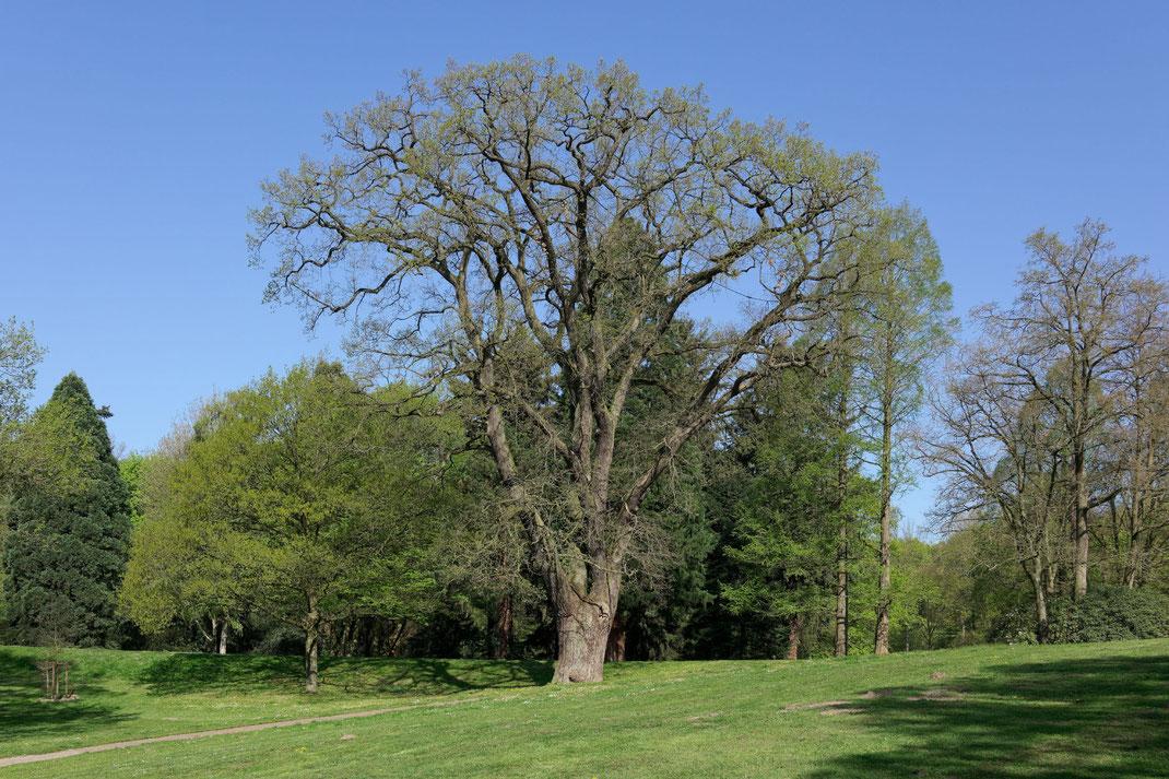 Eiche im Knoops Park in Burglesum in Bremen