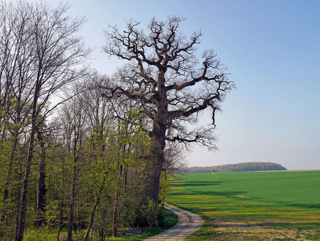 Eiche beim Gut Ludwigsruhe bei Langenburg
