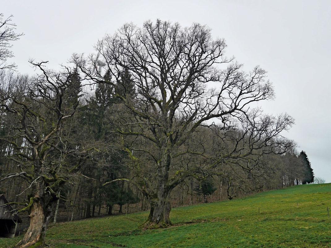 Eiche beim Kölblinshof bei Reichenbach, Umfang, Brusthöhenumfang, Stieleiche, Eiche, Naturdenkmal