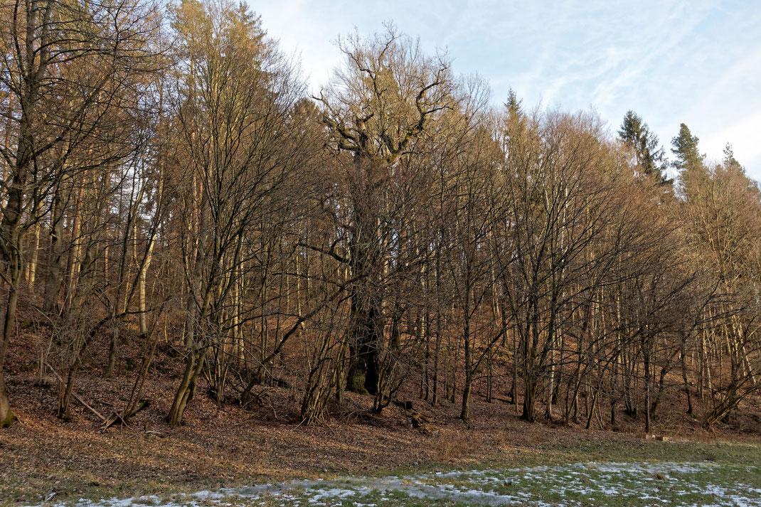 Kirstingseiche im Kirschengrund bei Dorndorf