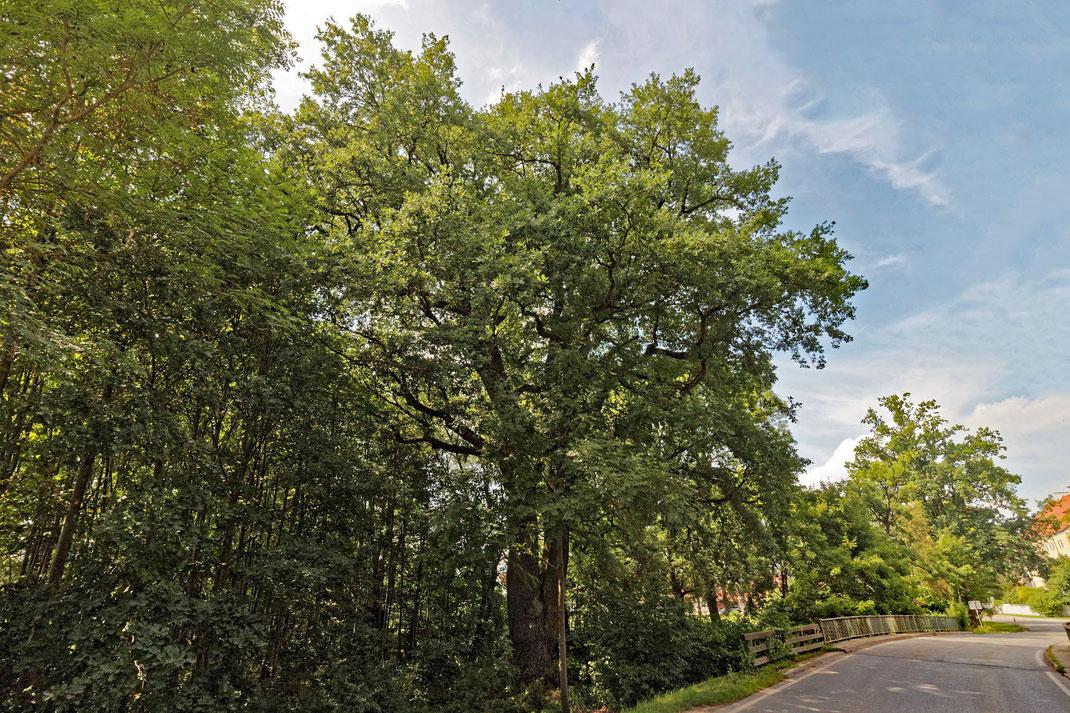 Miscanthus-Eiche bei Unterweikertshofen