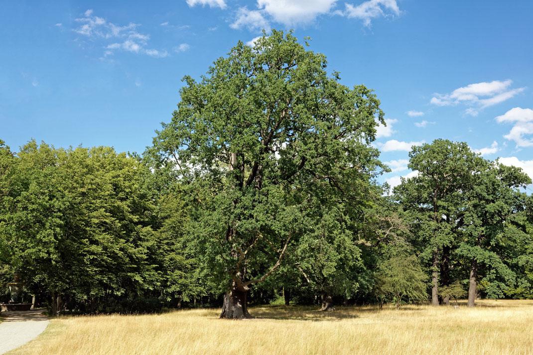 Splittereiche im Großen Garten von Dresden