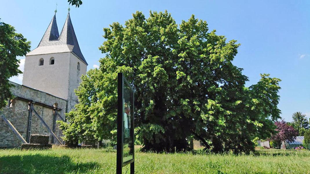 Linde beim ehemaligen Kloster Stötterlingenburg in Lüttgenrode