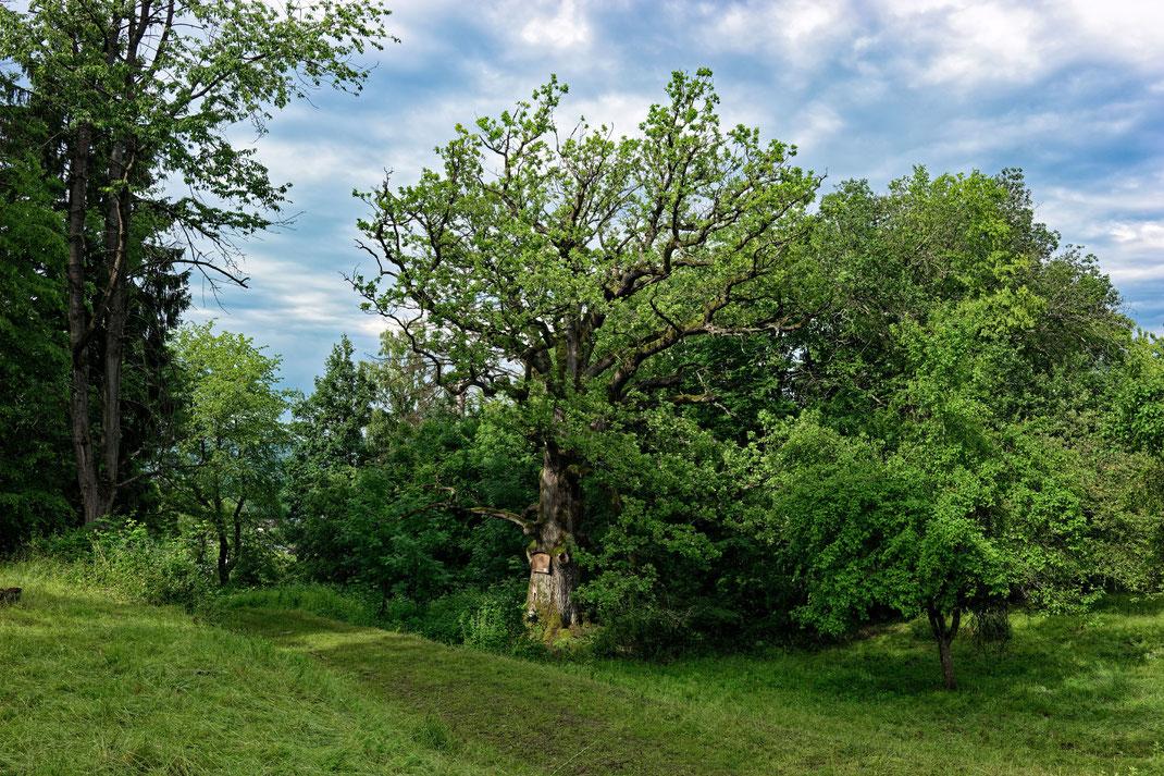 Tausendjährige Eiche bei Burgbernheim