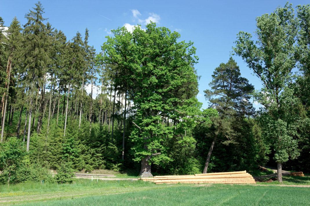 Tausendjährige Eiche bei Arnkofen