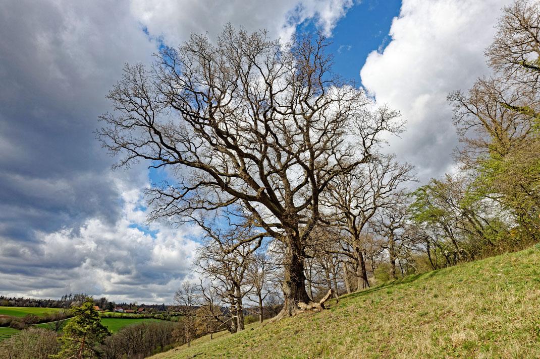 Eiche im Naturschutzgebiet Eichenhain bei Sillenbuch