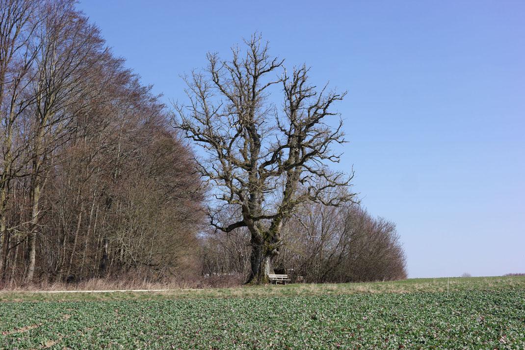 Eiche bei Gammersfeld