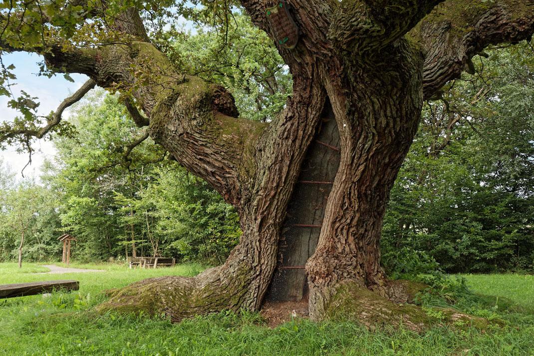 Tausendjährige Eiche in Reith, Umfang, Brusthöhenumfang, Stieleiche, Eiche, Naturdenkmal