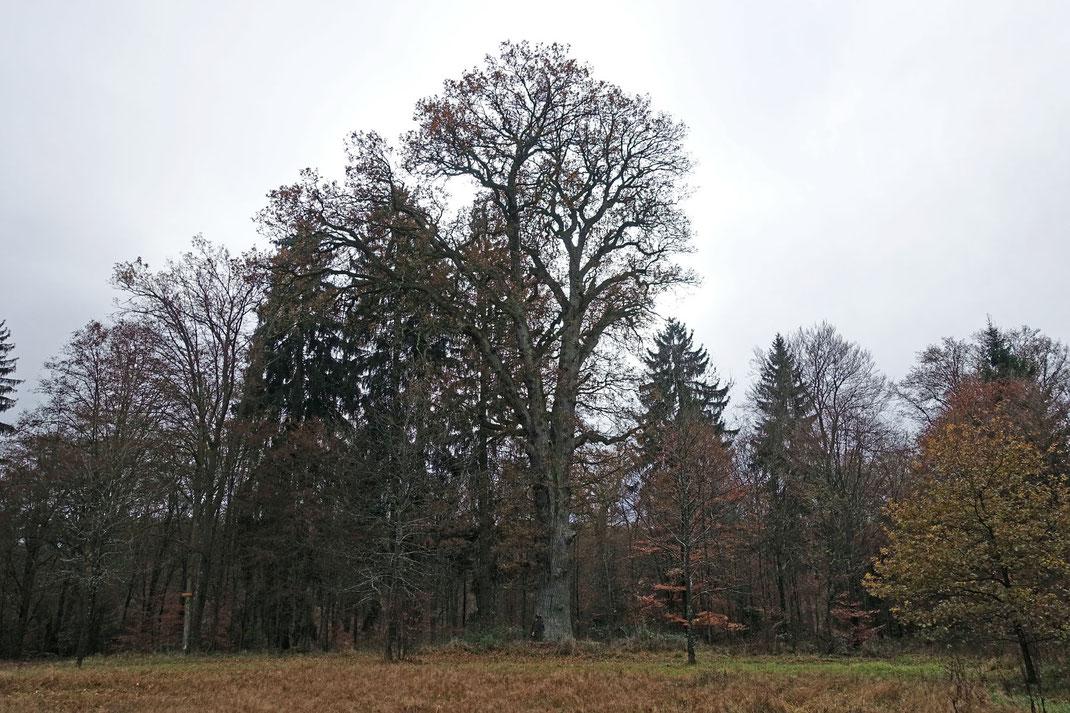 Eiche im Rotwildpark Stuttgart bei Stuttgart