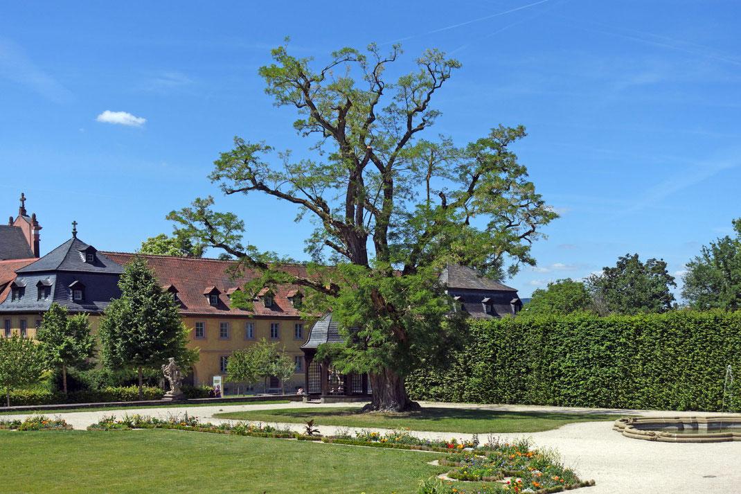 Robinie im Schlossgarten in Veitshöchheim