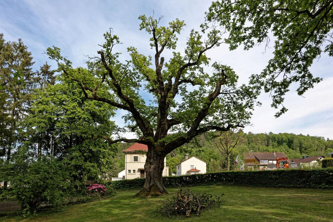 Eiche in Albshausen