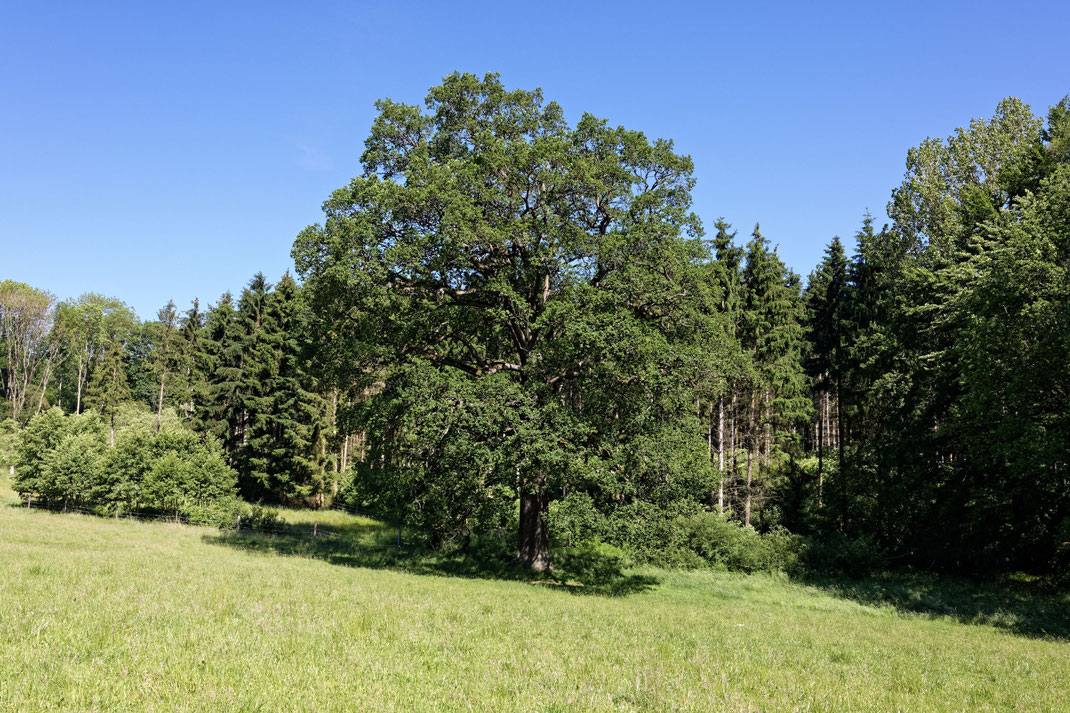 Eiche am Bremkebach bei Brockhausen