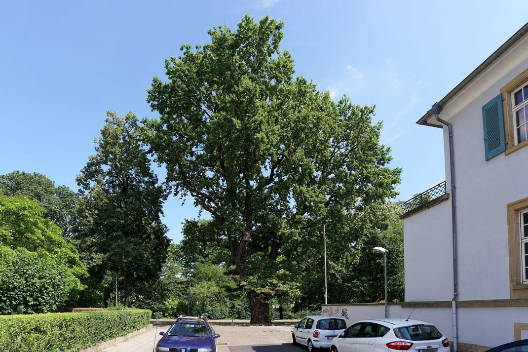 Eiche in der Beiertheimer Allee in Karlsruhe