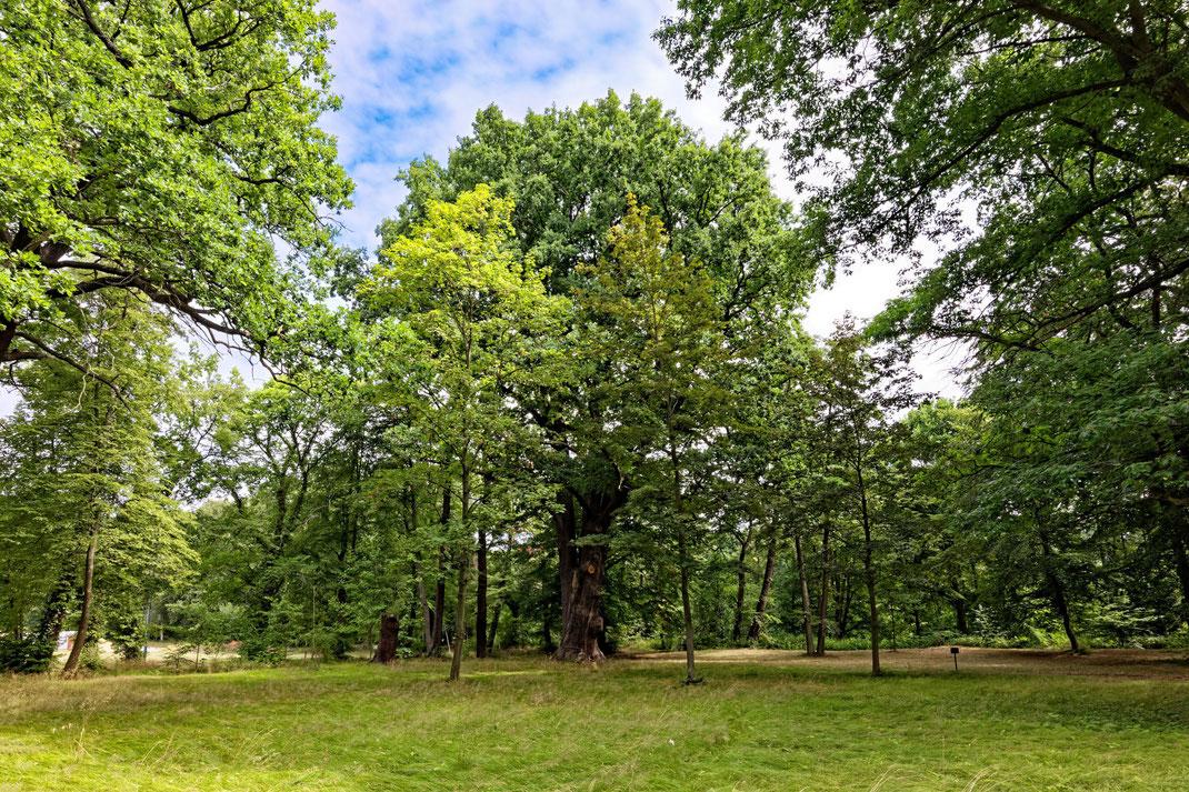 Zwillingseiche im Schlosspark Milkel in Milkel