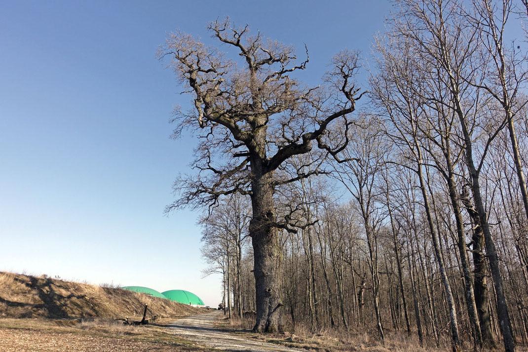 Eiche beim Gut Ludwigsruhe bei Langenburg, Umfang, Brusthöhenumfang, Stieleiche, Eiche, Naturdenkmal