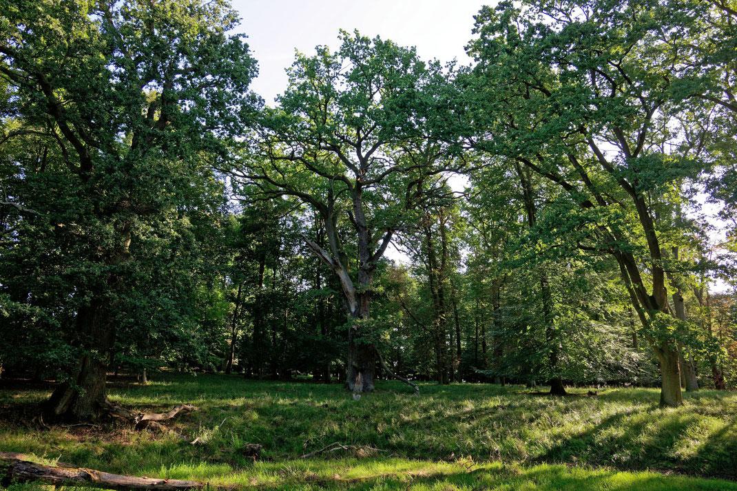 Eiche im Wald im Ivenacker Tiergarten